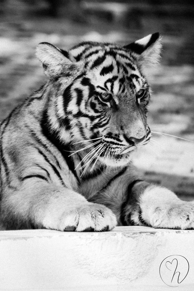 black and white tiger- long