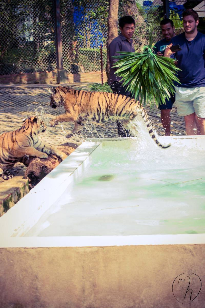 Tigers jumping out of water
