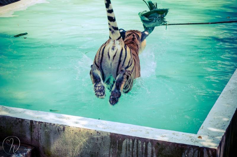 Tiger jump in water