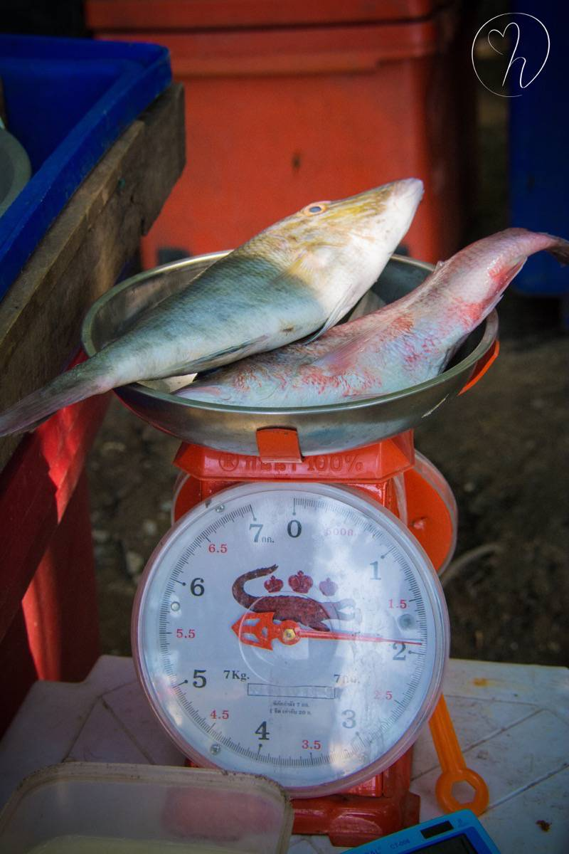 fish being weighed long